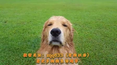 不小心摔进水坑的金毛,湿漉漉的被主人问话装可怜