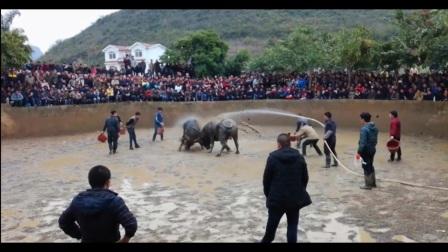 贵州牛打架