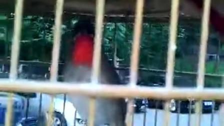 红靛颏鸟托盘大叫视频2017年5月