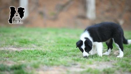 爱丁堡边境牧羊犬-黑白色边牧宝宝-雷诺草莓公C1-85天