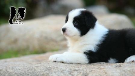 爱丁堡边境牧羊犬-黑白色边牧幼犬-雷诺MONICA公C2-47天