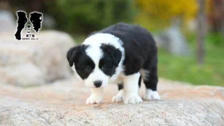 爱丁堡边境牧羊犬-黑白色边牧幼犬-雷诺MONICA公C3-47天
