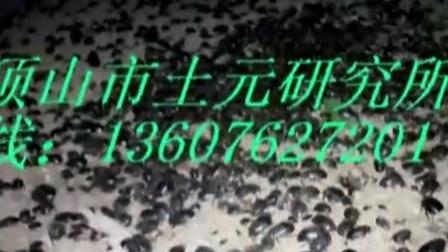 唯一成功的蝎子养殖方法技术养殖蝎子为什么都不成功
