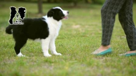 爱丁堡边境牧羊犬-黑白色边牧幼犬-MONICA公C2-88天