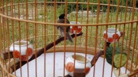 红子鸟三年的枝子托笼大叫