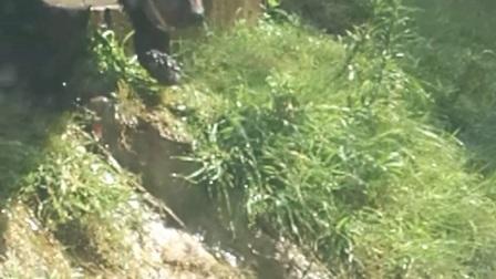 黑熊秀恩爱 上方山动物园 视频星火燎原