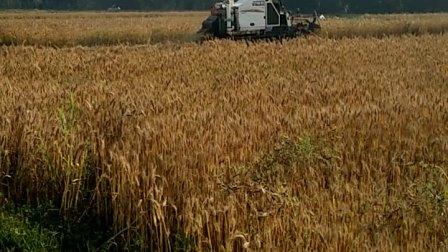 云阳村收割麦子