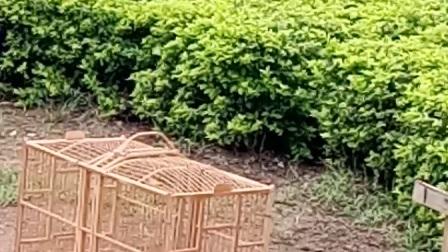 2017年8月5日文山画眉打架赌注五万八 三鑫商贸城对战蔡老板27万的画眉.蔡老板赢
