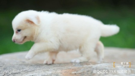 花Q公D1 39天 爱丁堡边境牧羊犬-黄白色边牧幼犬
