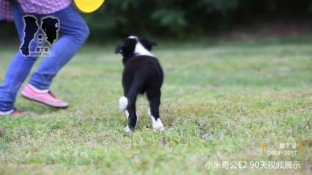 小米奇公E2-90天 爱丁堡边境牧羊犬-黑白色边牧幼犬