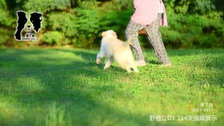 舒格公D1-114天 爱丁堡边境牧羊犬-黄白色金边幼犬