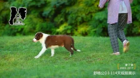 舒格公D3-114天 爱丁堡边境牧羊犬-巧克力色边牧幼犬