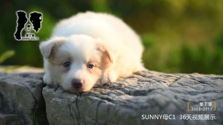 SUNNY母C1-36天 爱丁堡边境牧羊犬-黄白色金边幼犬