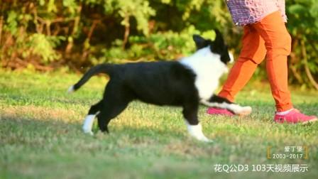 花Q公D3-103天 爱丁堡边境牧羊犬-黑白色边牧幼犬