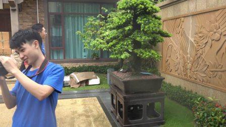 惠州碧桂园十里银滩老总家罗汉松