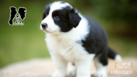 COFFEE公C2-42天 爱丁堡边境牧羊犬 -黑白色边牧幼犬