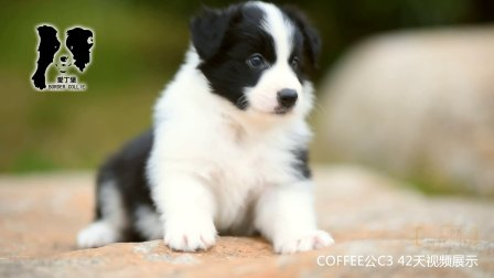 COFFEE公C3-42天 爱丁堡边境牧羊犬 -黑白色边牧幼犬