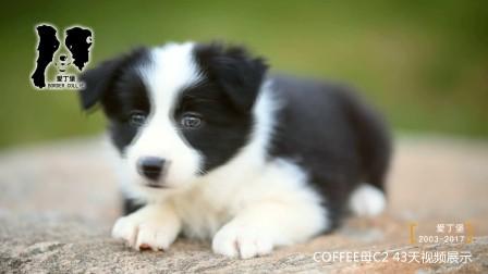COFFEE母C2-43天 爱丁堡边境牧羊犬巧克力色边牧幼犬