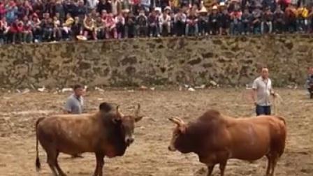 云南斗牛,越南王,挑过江龙的皮