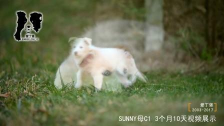 SUNNY母C1-3个月10天-爱丁堡边境牧羊犬-黄白色边牧幼犬