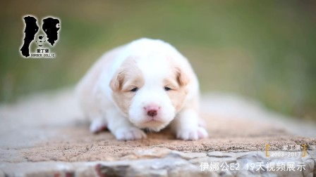 伊娜公E2-19天-爱丁堡边境牧羊犬-黑白边牧幼犬