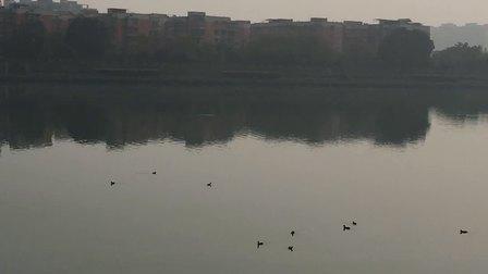 四川江油的河里全是野鸭