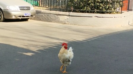 VID20180114122802白公鸡