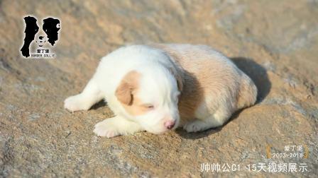 帅帅公C1-15天-金边幼犬-爱丁堡边境牧羊犬