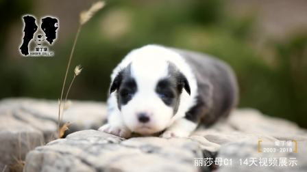 丽莎母C1-14天-黑白色边牧幼犬-爱丁堡边境牧羊犬