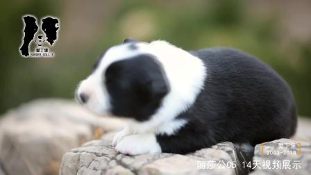 丽莎公C5-14天-黑白色边牧幼犬-爱丁堡边境牧羊犬