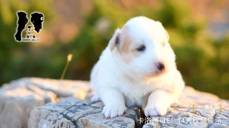 卡洛琳母E1-14天-黄白色边牧幼犬-爱丁堡边境牧羊犬