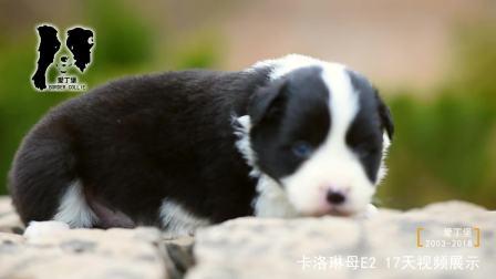 卡洛琳母E2-17天-黑白色边牧幼犬-爱丁堡边境牧羊犬