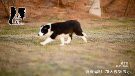 香香母E1-78天-黑白色边牧幼犬-爱丁堡边境牧羊犬