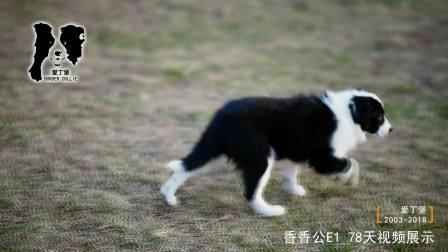香香公E1-78天-黑白色边牧幼犬-爱丁堡边境牧羊犬