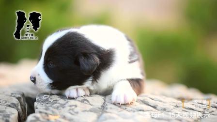 二宝母E1-15天-黑白色边牧幼犬-爱丁堡边境牧羊犬