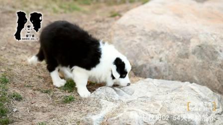 卡秋公D2-64天-黑白色边牧幼犬-爱丁堡边境牧羊犬