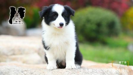 卡洛琳公E1-61天-黑白色边牧幼犬-爱丁堡边境牧羊犬