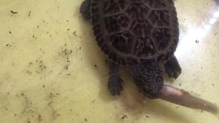 萌萌哒墨西哥巨蛋龟吃小鱼蛋龟大头