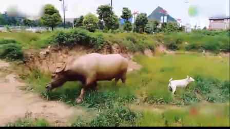走近贵州1760斤斗牛 一场比赛奖金最高30万