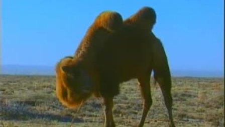掘犟的骆驼
