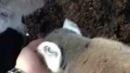 【兽兽】Liam Andy Samuels and crazy lemurs at the zoo