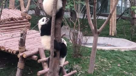 爆笑小熊猫下树被夹住