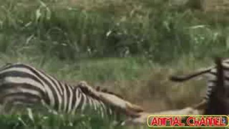 CCTV牛恩发现之旅:兽中之王者(狮.虎.豹)。
