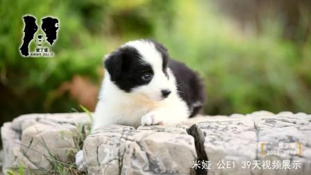 米娅公E1-39天-黑白色边牧幼犬-青岛爱丁堡边境牧羊犬