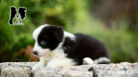 米娅公E2-39天-黑白色边牧幼犬-青岛爱丁堡边境牧羊犬