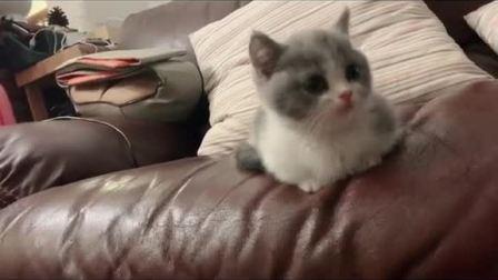 拥有一只可爱短腿小猫咪,是多么幸福的一件事