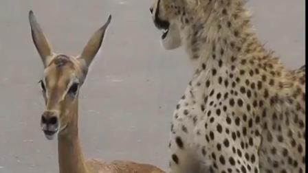 豹:羚羊妹妹你别走,嫁给我吧!羚:豹大哥,放了我吧,我害怕!