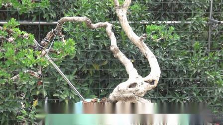 张永达盆景园(2019-12-22)