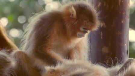 金丝猴一起玩耍一起觅食,成年后就被赶出家门 树屋童话中国版 第一季 1 快剪  0108164643