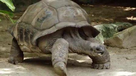 憨萌乌龟吃食物太可爱,小伙伴们瞬间被俘获
